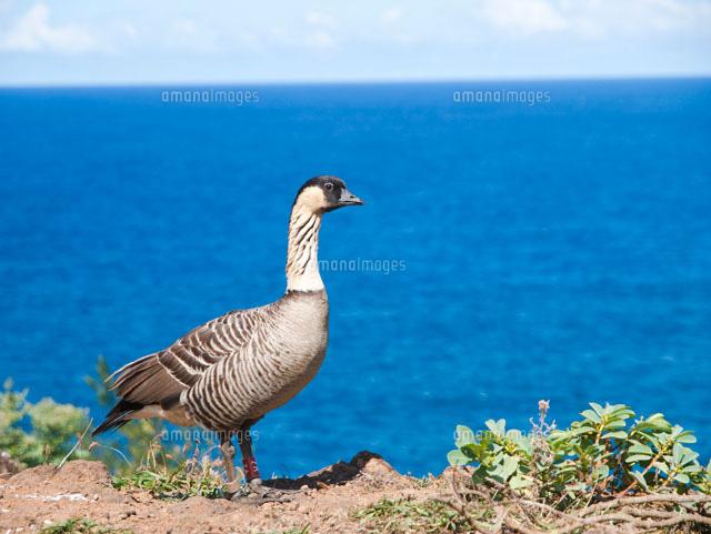 ハワイ州の州鳥ネネと海[10322000043]| 写真素材・ストックフォト・画像・イラスト素材|アマナイメージズ