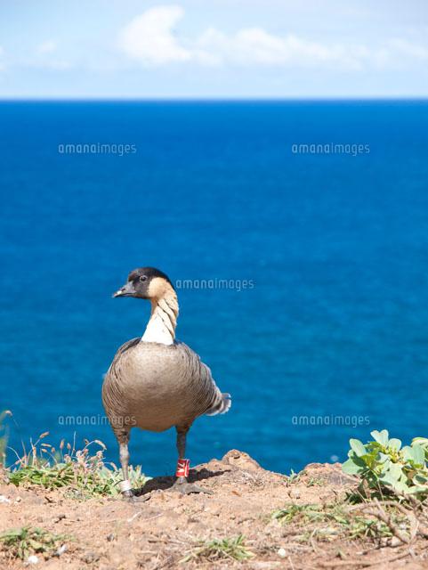 ハワイ州の州鳥ネネと海[10322000044]| 写真素材・ストックフォト・画像・イラスト素材|アマナイメージズ