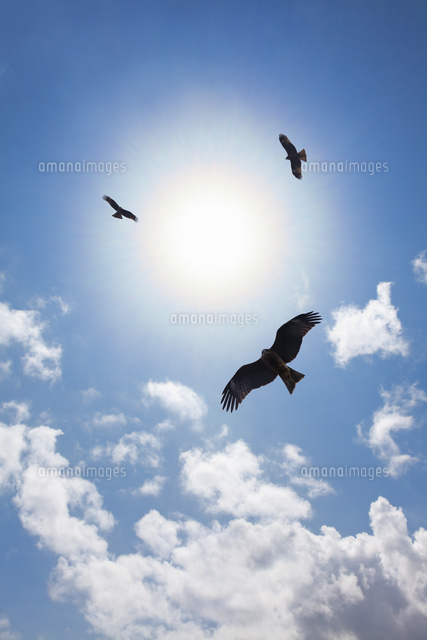 空を飛翔するトビ[10610003273]...