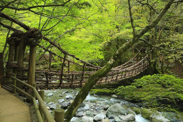 奥祖谷の二重かずら橋 女橋[1076...