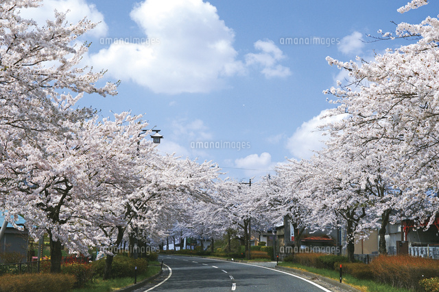 平泉町の桜並木,国道4号線[10790...