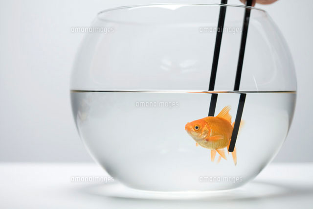 Goldfish in fishbowl caught by pair of chopsticks
