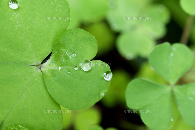 close up of water drops on four leaf clover 11100074593 写真素材