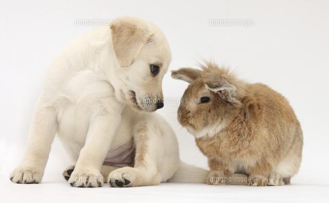 うさぎちゃんとラブラドールレトリバーの子犬