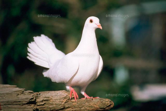 白鳩[28029000480]| 写真素材・...