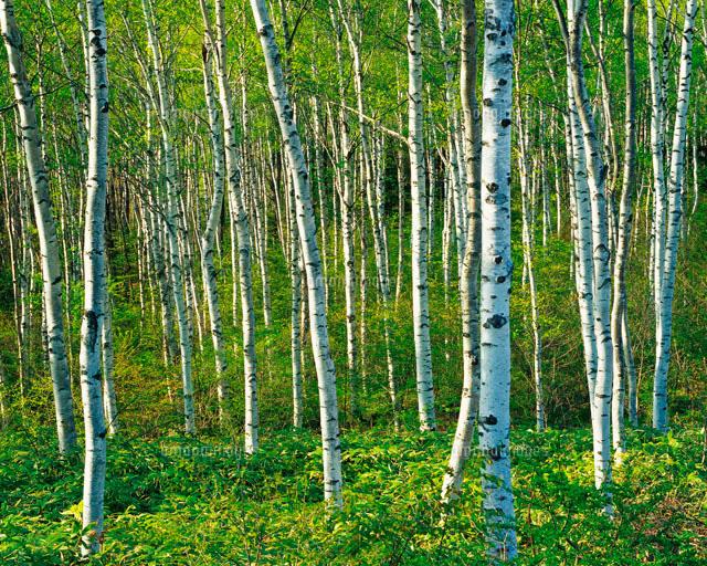 新緑の白樺林[28144015692]| 写...