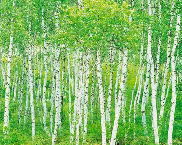 白樺林[28144094878]| 写真素材...