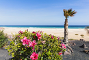 Blooming Hibiscus and Palm Tree by Promenade above Beach and Sea, Morro Jable, Fuerteventura, Canary Islands, Spain