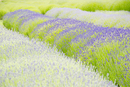 Lavender flowers growing in field