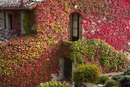 Colourful ivy growing on the wall of a Tuscan villa.