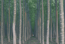 A plantation of poplar trees, a commercial tree farm. Tall straight trunks and vivid green tree canopy.