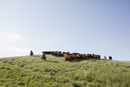Female ranchers herding cattle on hilltop under blue sky