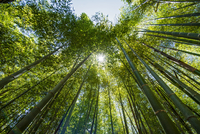 Looking up through bamboo forest, low angle view 11015255974| 写真素材・ストックフォト・画像・イラスト素材|アマナイメージズ