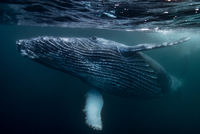 Humpback Whale calf playing on surface of ocean, Port St. Johns, South Africa 11015295029| 写真素材・ストックフォト・画像・イラスト素材|アマナイメージズ