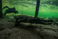 Underwater photographer chasing american croc (Crocodylus acutus) on seabed at Chinchorro Banks, Mexico 11015300655| 写真素材・ストックフォト・画像・イラスト素材|アマナイメージズ