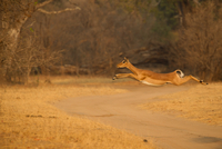 Female impala (Aepyceros melampus) jumping mid air over dirt track,  Mana Pools National Park, Zimbabwe 11015304962| 写真素材・ストックフォト・画像・イラスト素材|アマナイメージズ