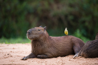 Great Kiskadee (Pitangus sulphuratus) perched on capybara (Hydrochaeris hydrochaeris) on riverbank, Pantanal, Mato Grosso, Brazi 11015304989| 写真素材・ストックフォト・画像・イラスト素材|アマナイメージズ