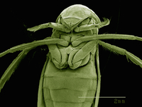 Scanning electron micrograph of the head of a female backswimmer (hemiptera: corixidae) 11015305244| 写真素材・ストックフォト・画像・イラスト素材|アマナイメージズ