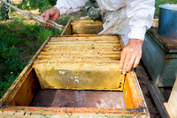 Mid section of male beekeeper tending apiary and honeycomb using feather 11015305353| 写真素材・ストックフォト・画像・イラスト素材|アマナイメージズ