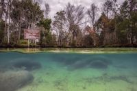 Manatee in the three sisters spring, Crystal river, Florida, USA 11015312308| 写真素材・ストックフォト・画像・イラスト素材|アマナイメージズ