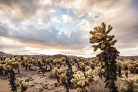 Landscape view with cacti in Joshua Tree National Park, California, USA 11015318722| 写真素材・ストックフォト・画像・イラスト素材|アマナイメージズ