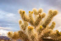 Close up of a cactus in Joshua Tree National Park at dusk, California, USA 11015318723| 写真素材・ストックフォト・画像・イラスト素材|アマナイメージズ