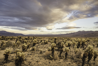 Landscape view with cacti in Joshua Tree National Park at dusk, California, USA 11015318724| 写真素材・ストックフォト・画像・イラスト素材|アマナイメージズ