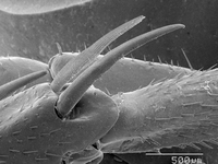 Magnified view of cockroach leg spurs 11015322994| 写真素材・ストックフォト・画像・イラスト素材|アマナイメージズ
