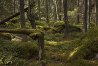 Trees and moss covered landscape in forest 11016034070| 写真素材・ストックフォト・画像・イラスト素材|アマナイメージズ