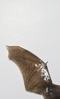 Directly above shot of fossil bat wing over white background 11016034552| 写真素材・ストックフォト・画像・イラスト素材|アマナイメージズ