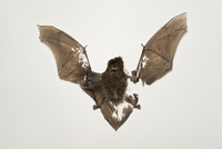 Close-up of bat fossil against white background 11016034575| 写真素材・ストックフォト・画像・イラスト素材|アマナイメージズ