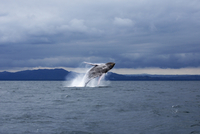 Humpback whale jumping in sea against dramatic sky 11016035313| 写真素材・ストックフォト・画像・イラスト素材|アマナイメージズ