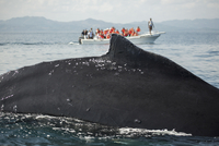 Close-up of whale with tourists on boat in background 11016035322| 写真素材・ストックフォト・画像・イラスト素材|アマナイメージズ