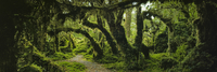 Panoramic view of moss covered trees in forest, Enchanted Forest, Queulat National Park, Patagonia 11016035623| 写真素材・ストックフォト・画像・イラスト素材|アマナイメージズ