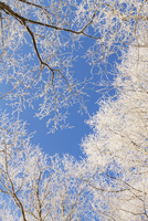 Tree branches covered with hoar frost 11018080657| 写真素材・ストックフォト・画像・イラスト素材|アマナイメージズ