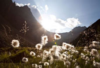 Dandelions in Meadow and Mountains,Columbia Icefield 11030027287| 写真素材・ストックフォト・画像・イラスト素材|アマナイメージズ