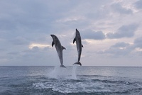 Common Bottlenose Dolphins Jumping out of Water, Caribbean S 11030031730| 写真素材・ストックフォト・画像・イラスト素材|アマナイメージズ