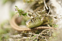Close-up of a sand lizard (Lacerta agilis) in summer, Upper Palatinate, Bavaria, Germany 11030041854| 写真素材・ストックフォト・画像・イラスト素材|アマナイメージズ