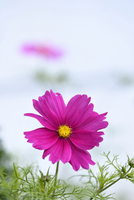 Close-up of Garden Cosmos (Cosmos bipinnatus) Blossom in Garden in Late Summer, Upper Palatinate, Bavaria, Germany 11030042093| 写真素材・ストックフォト・画像・イラスト素材|アマナイメージズ