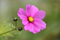 Close-up of Garden Cosmos (Cosmos bipinnatus) Blossom in Garden in Late Summer, Upper Palatinate, Bavaria, Germany 11030042094| 写真素材・ストックフォト・画像・イラスト素材|アマナイメージズ
