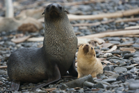 White Antarctic fur seal adult female, with a white seal pup 11093002355| 写真素材・ストックフォト・画像・イラスト素材|アマナイメージズ