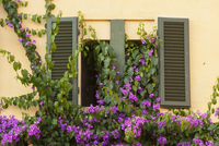 Window and shutters of a Tuscan villa, covered with a creeper plant with purple flowers. 11093005754| 写真素材・ストックフォト・画像・イラスト素材|アマナイメージズ