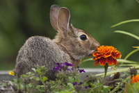 Cottontail Rabbit sitting on a meadow with an orange Marigold flower. 11093005835| 写真素材・ストックフォト・画像・イラスト素材|アマナイメージズ