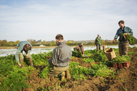 A small group of people harvesting autumn vegetables in the fields on a small family farm. 11093013215| 写真素材・ストックフォト・画像・イラスト素材|アマナイメージズ
