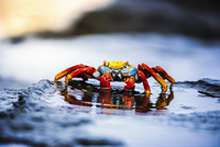 Sally Lightfoot Crab, Grapsus grapsus found in the Galapagos Islands. 11093013649| 写真素材・ストックフォト・画像・イラスト素材|アマナイメージズ