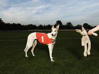 White greyhound wearing red bib with number one, standing on racetrack, a toy rabbit dangling from a human hand. 11093015308| 写真素材・ストックフォト・画像・イラスト素材|アマナイメージズ