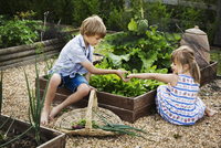 Boy and girl by a vegetable bed in a garden picking fresh produce, a basket with onions. 11093016849| 写真素材・ストックフォト・画像・イラスト素材|アマナイメージズ