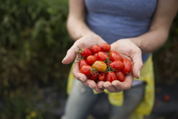 Close up woman holding fresh harvested red tomatoes 11096045995| 写真素材・ストックフォト・画像・イラスト素材|アマナイメージズ