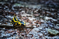 Close-up of salamander in forest, Indre, France 11098026925| 写真素材・ストックフォト・画像・イラスト素材|アマナイメージズ