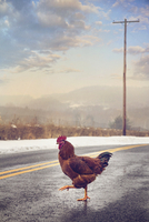 Rooster crossing road at winter, New Jersey, USA 11098032753| 写真素材・ストックフォト・画像・イラスト素材|アマナイメージズ